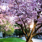 cherry blossoms near Suzzallo Library