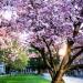 cherry blossoms near Suzzallo Library